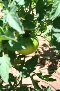 Heirloom tomato - unripe